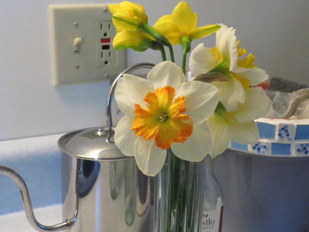 Some daffodils that Becky cut before it started raining this morning.<br /> Left to dry next to the sink by the back door.