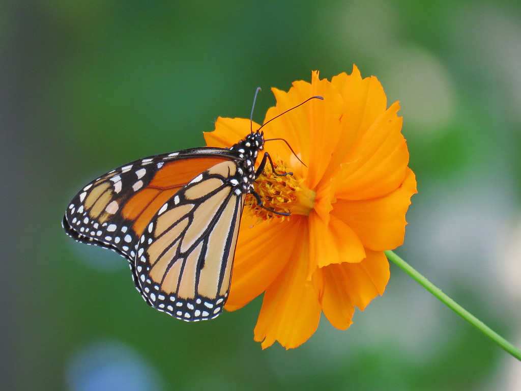 Monarch Butterfly on Orange Cosmos .