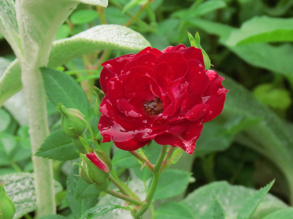 Red Cascade Rose filled with rain water alongside Stachys or Lamb's Ears.