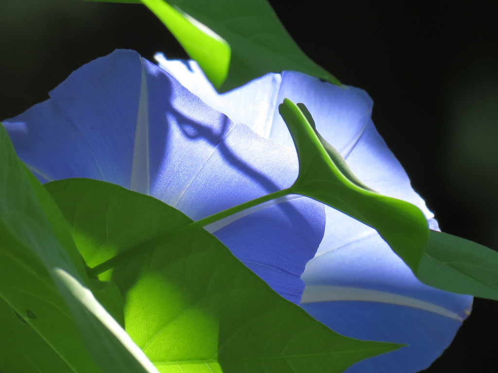 Heavenly Blue Morning Glory<br /> <br /> Whenever I am in Heaven, I pick up a pocket full of these seeds to bring back with me. That's why I call them Heavenly Blue.