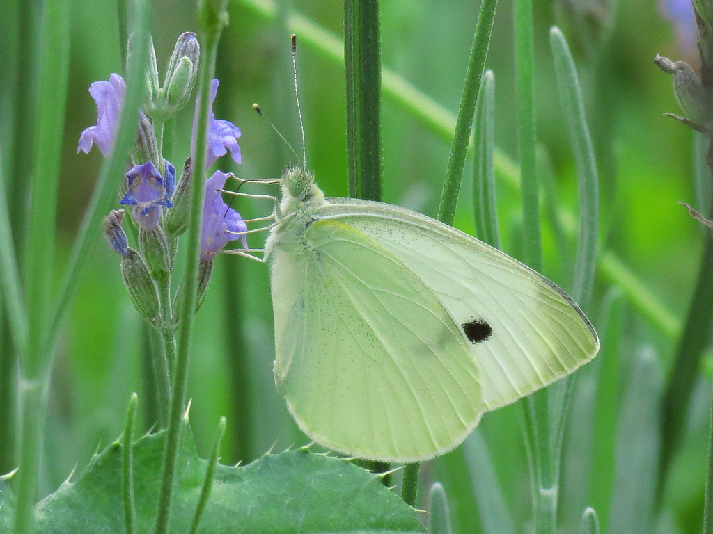 White Butterfly and Lavender