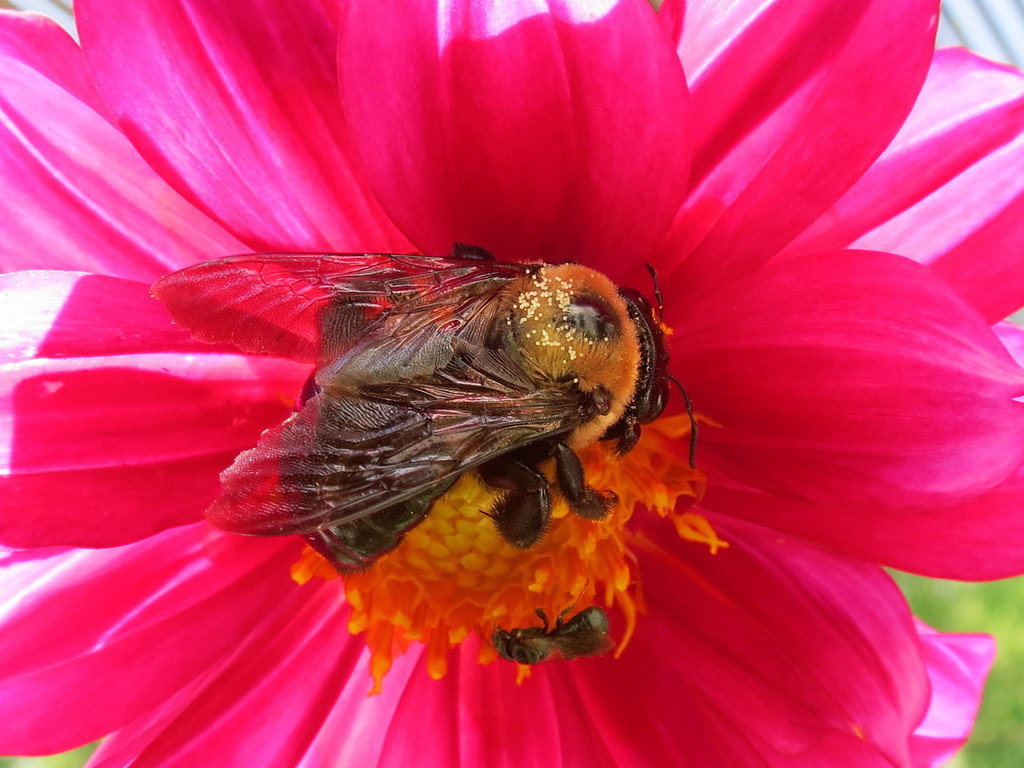 Two Bees find the newly opened Dahlia flower.