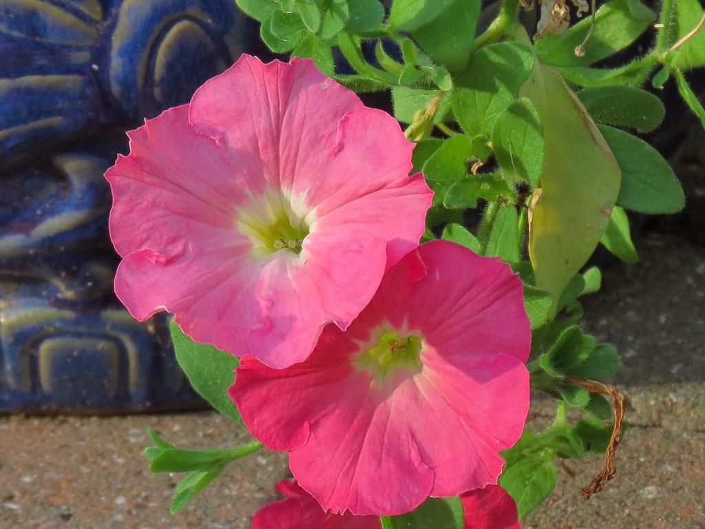 Pink Petunias on the patio.
