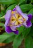 Presby Iris Garden - May