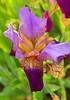 Presby Iris Garden--May