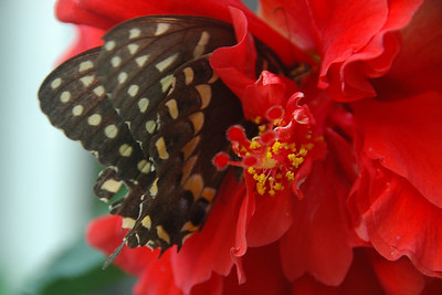 Black Swallowtail and Hibiscus