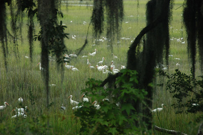 Flock of White Ibis in the marsh this morning..9.20.2013