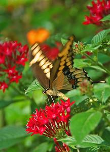 """9.14.2013  """"Giant Swallowtail"""" on Penta flowers"""