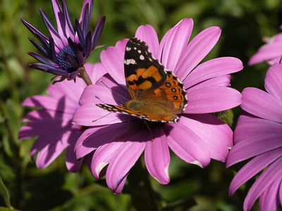 20130924_1037_0358 butterfly and african daisy