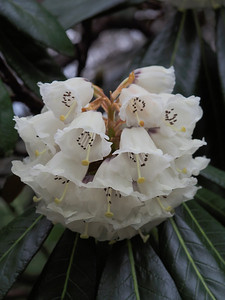 20130914_1524_2750 rhododendron