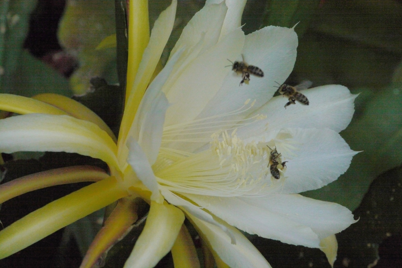 20131126_0744_4699 epiphyllum and bees