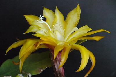20131126_0758_4735 epiphyllum