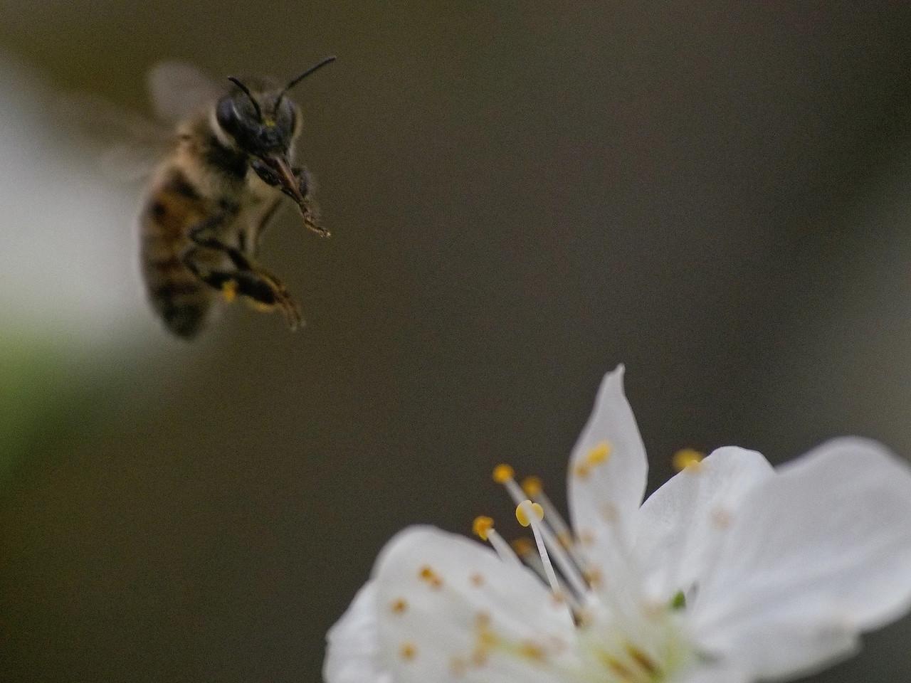 20130907_1336_1661 plum blossom bee