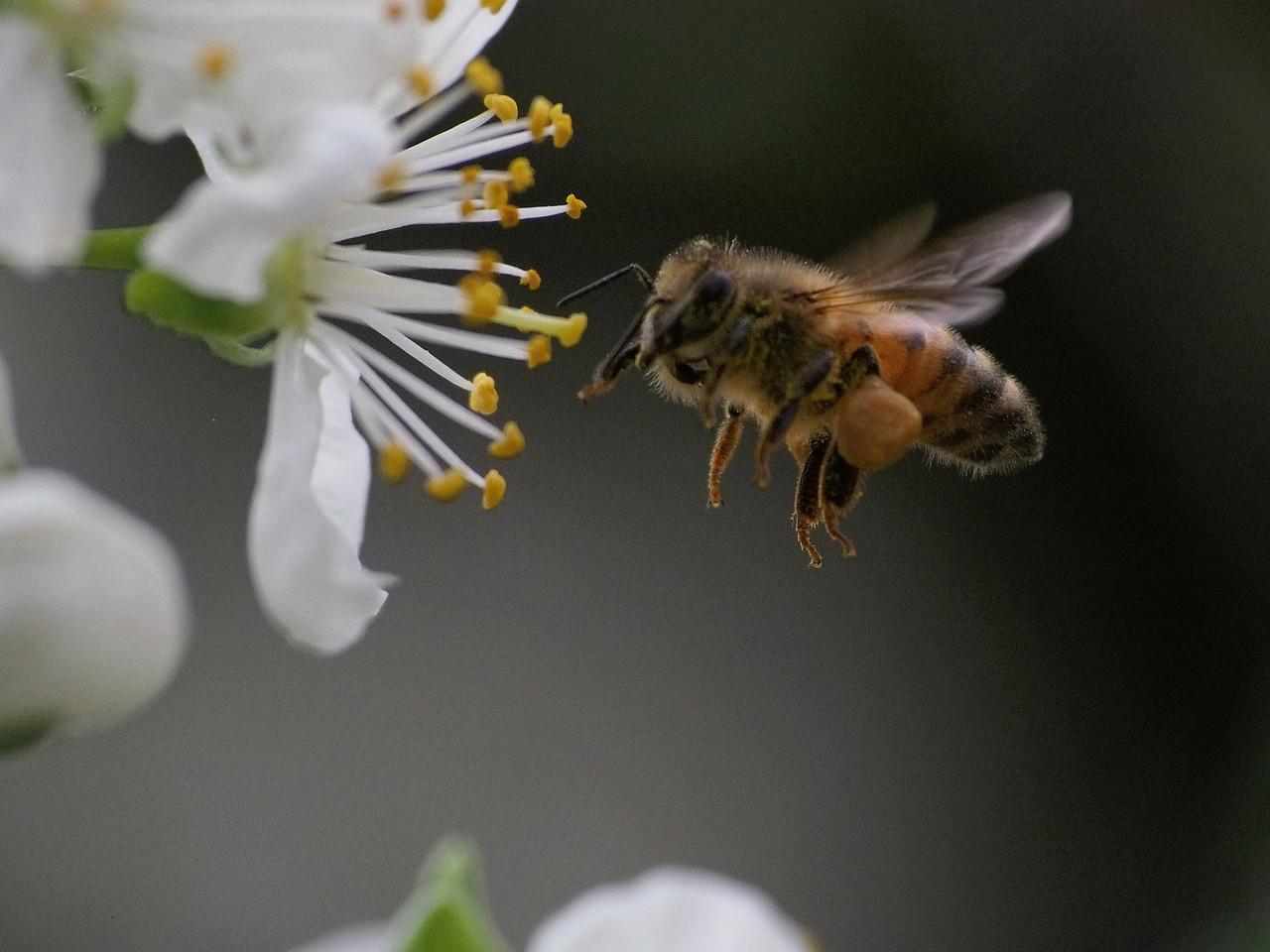 20130907_1333_1629 plum blossom bee