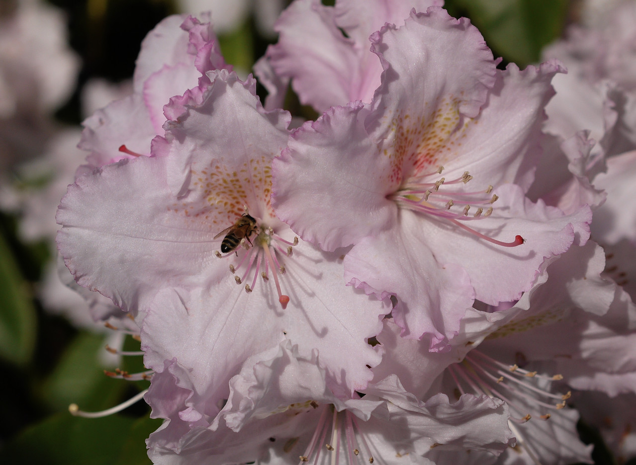20130907_0955_0173 rhododendron and bee