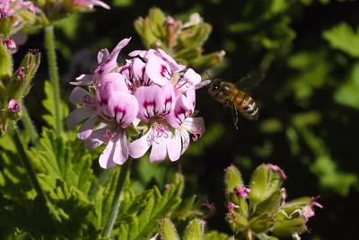 20131106_0905_12688 bee and geranium