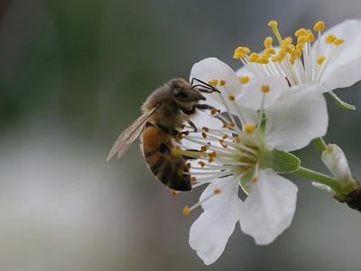 20130908_1001_1710 plum blossom bee