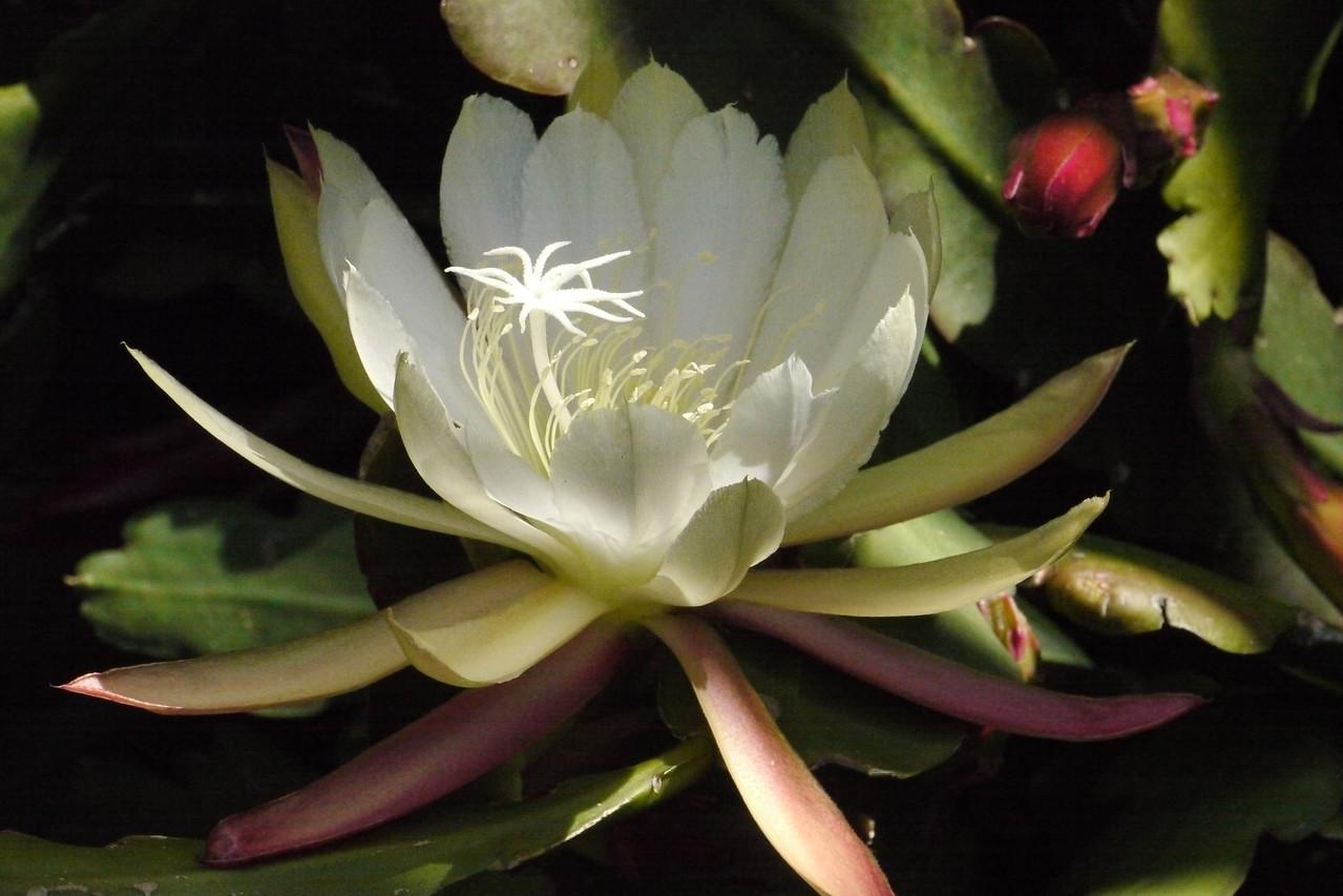 20131125_1035_4588 epiphyllum
