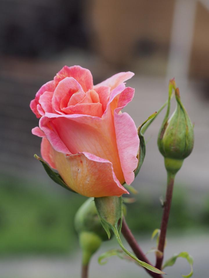 20131003_1525_4745 rose