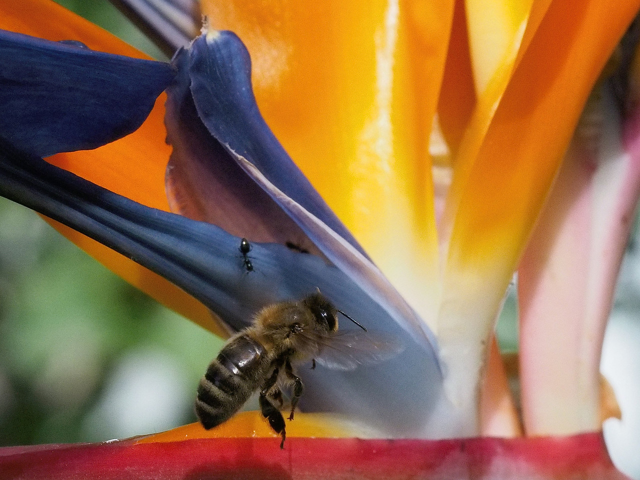 20131121_1513_0471 bee and bird of paradise