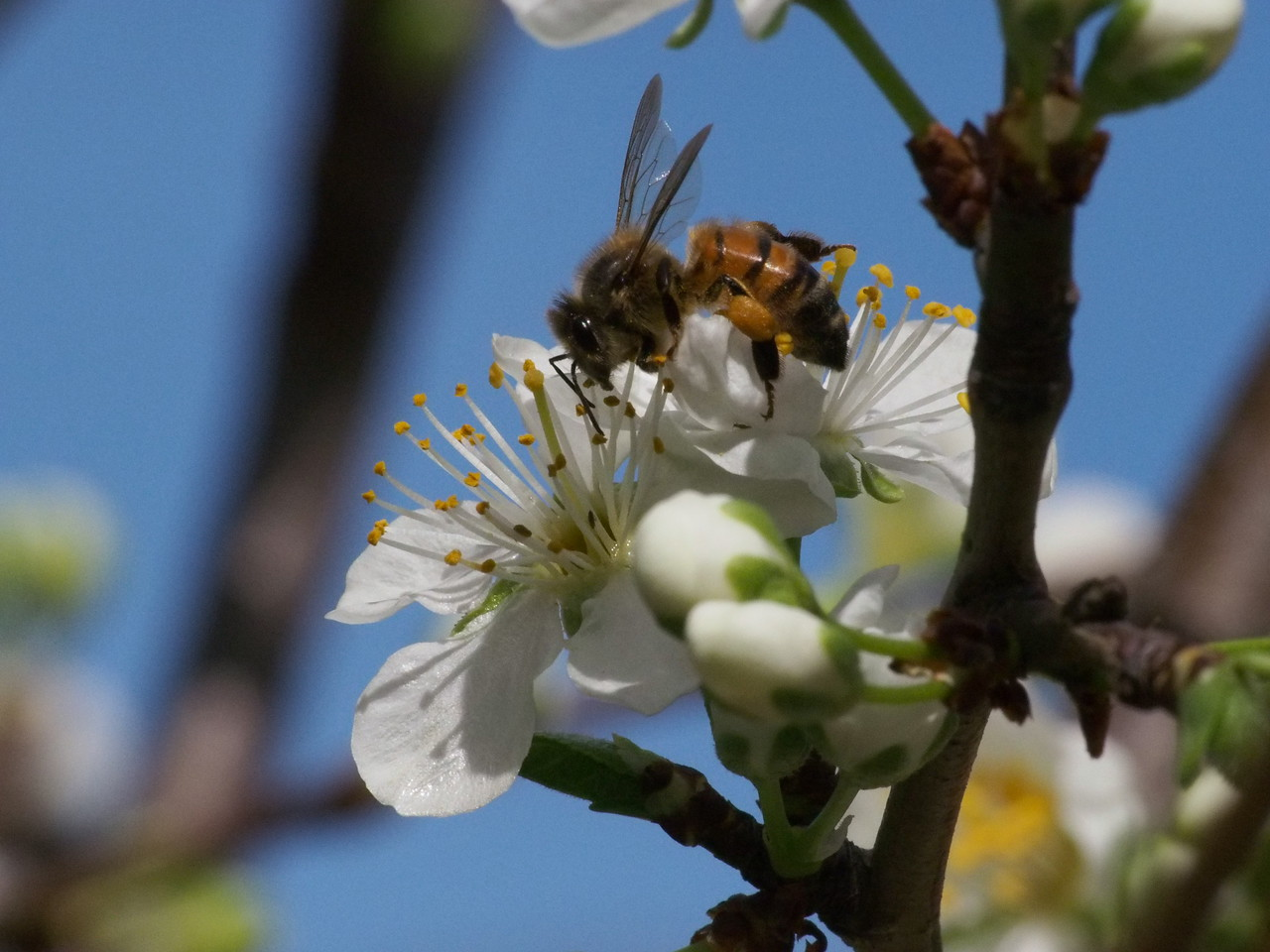 20130907_1305_1192 plum blossom and bee