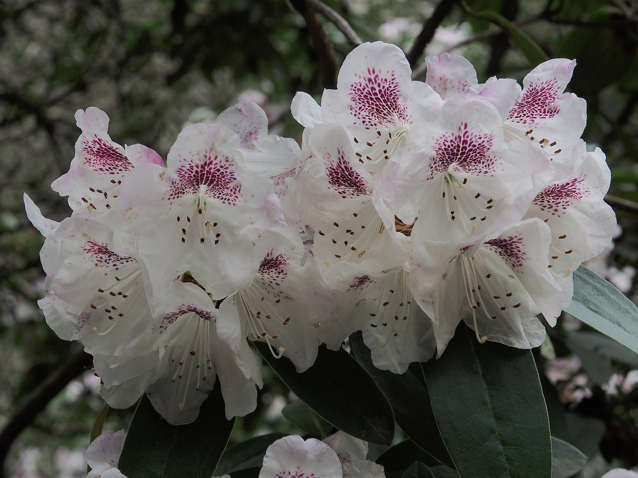 20130914_1513_2737 rhododendron