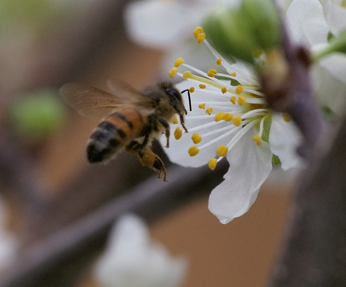 20130907_1306_1214 plum blossom and bee
