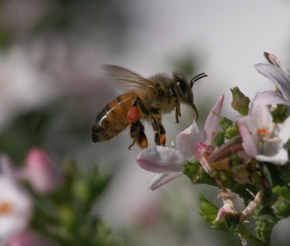 20130908_1444_2032 Kew Baptist bee