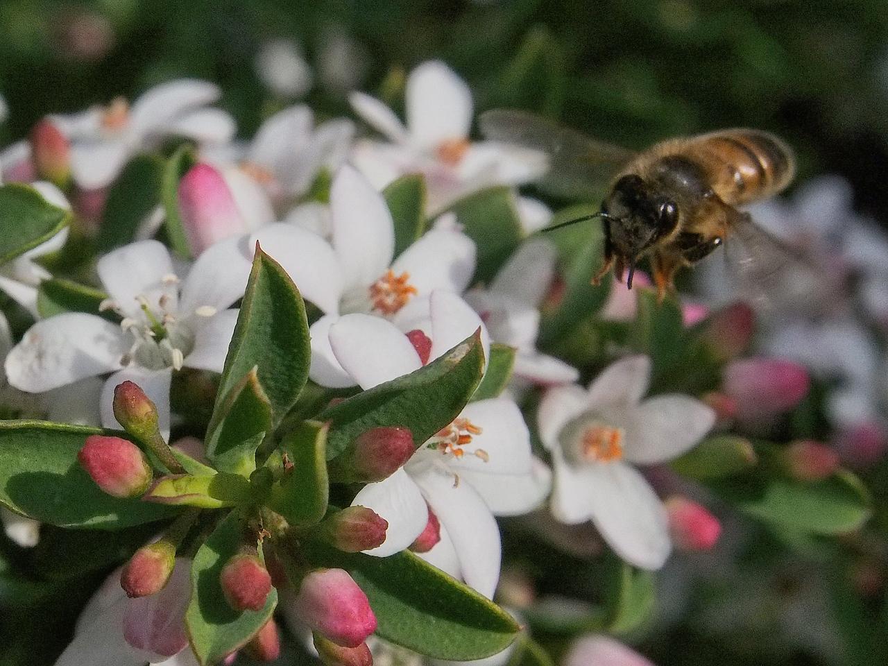 20130901_1218_1719 Kew Baptist bee