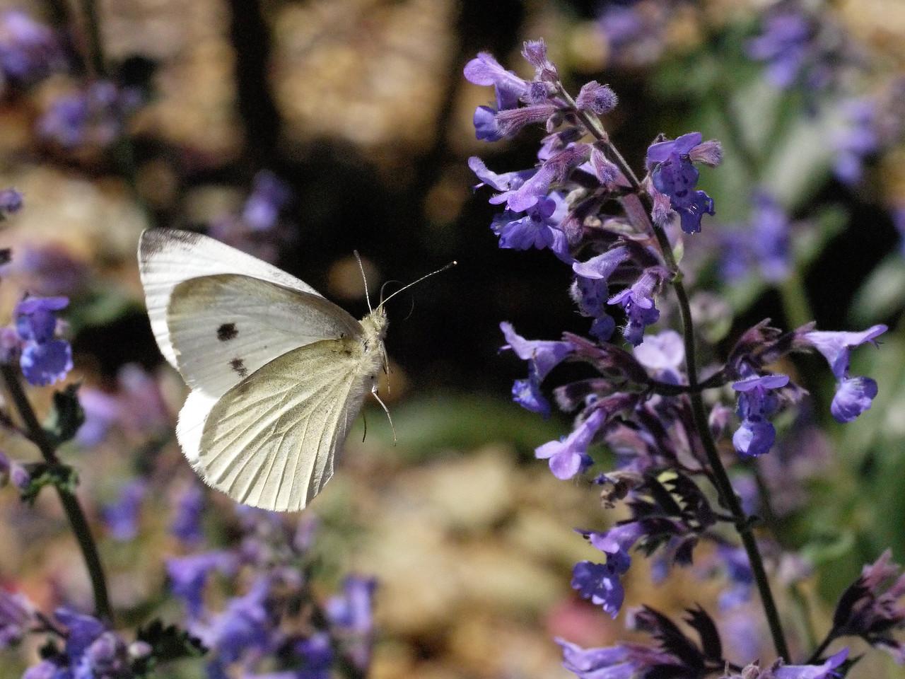 20131105_1054_0097 butterfly (Ivanhoe Park)