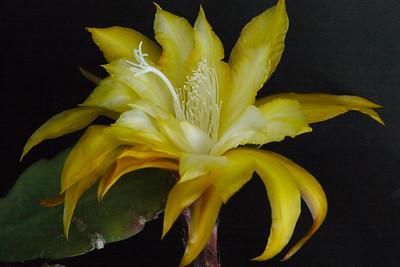 20131126_0738_4653 epiphyllum