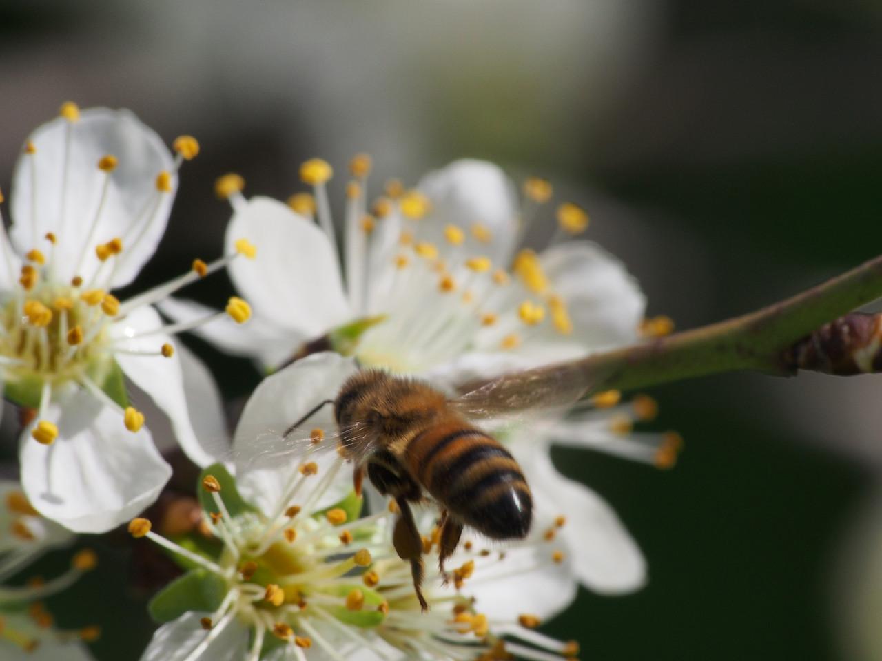 20130912_1353_2686 plum blossom bee