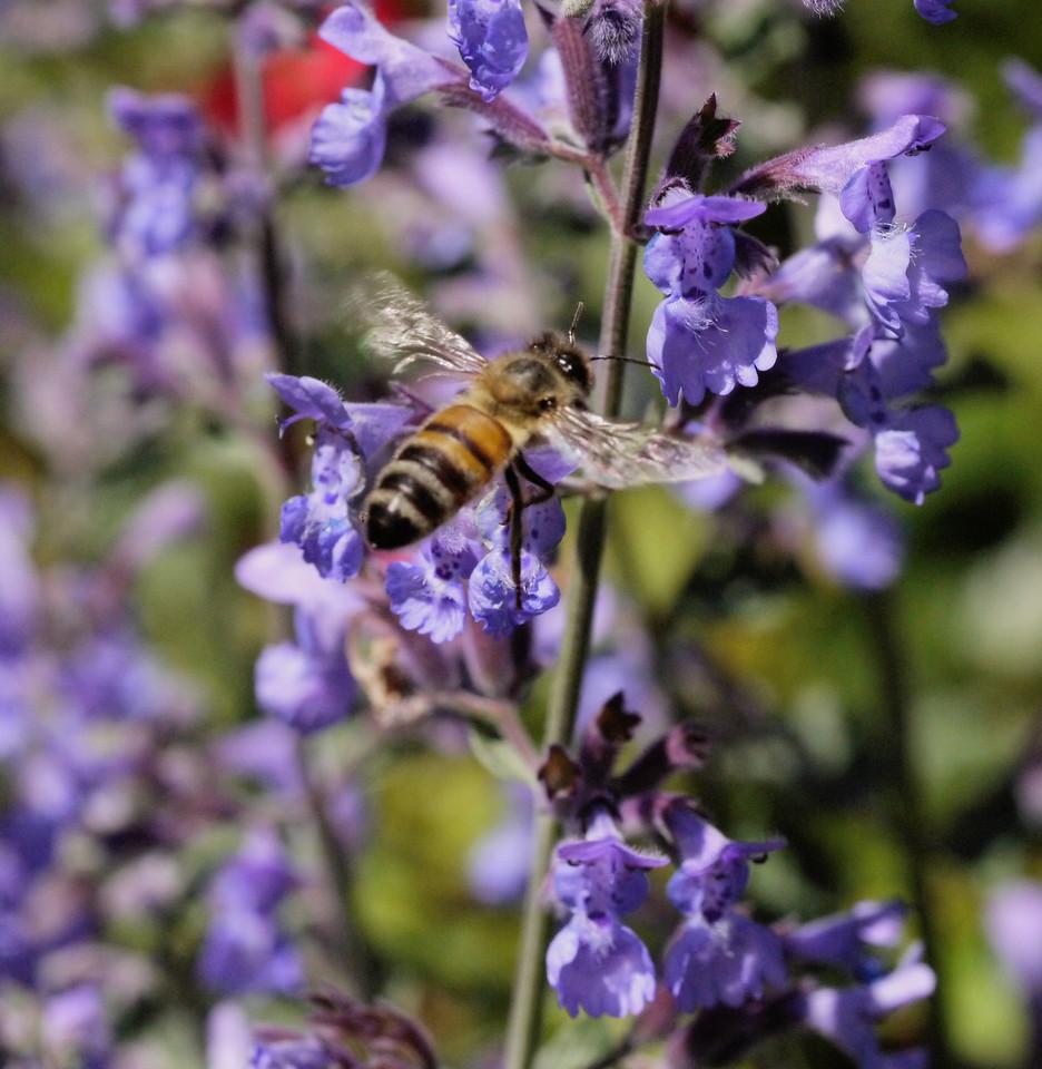 20131105_1042_0021 bee (Ivanhoe Park)