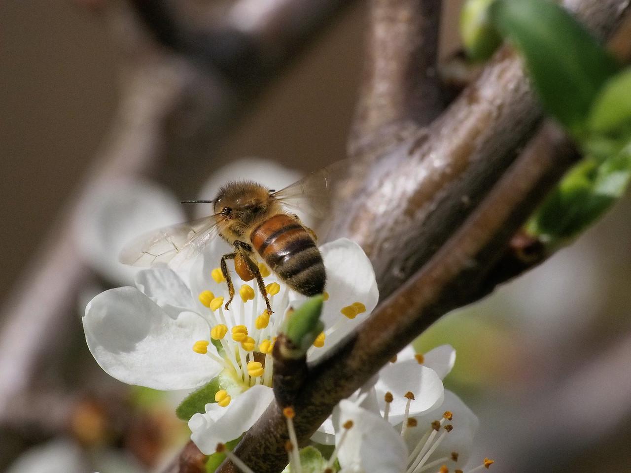 20130908_1005_1779 plum blossom bee