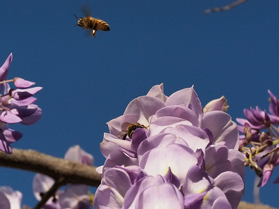 20130922_1705_4412 lavender and bees