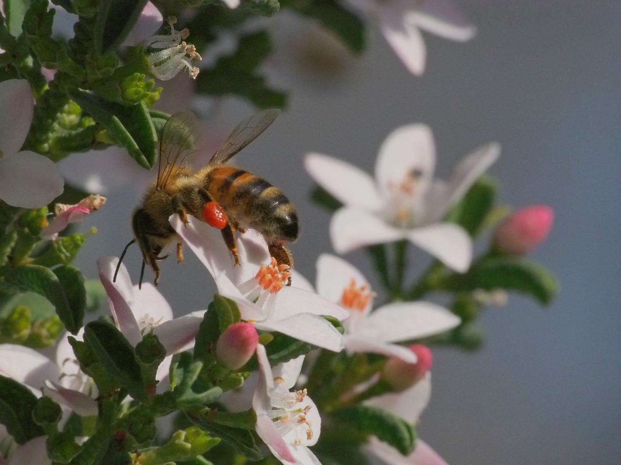 20130908_1502_2377 Kew Baptist bee