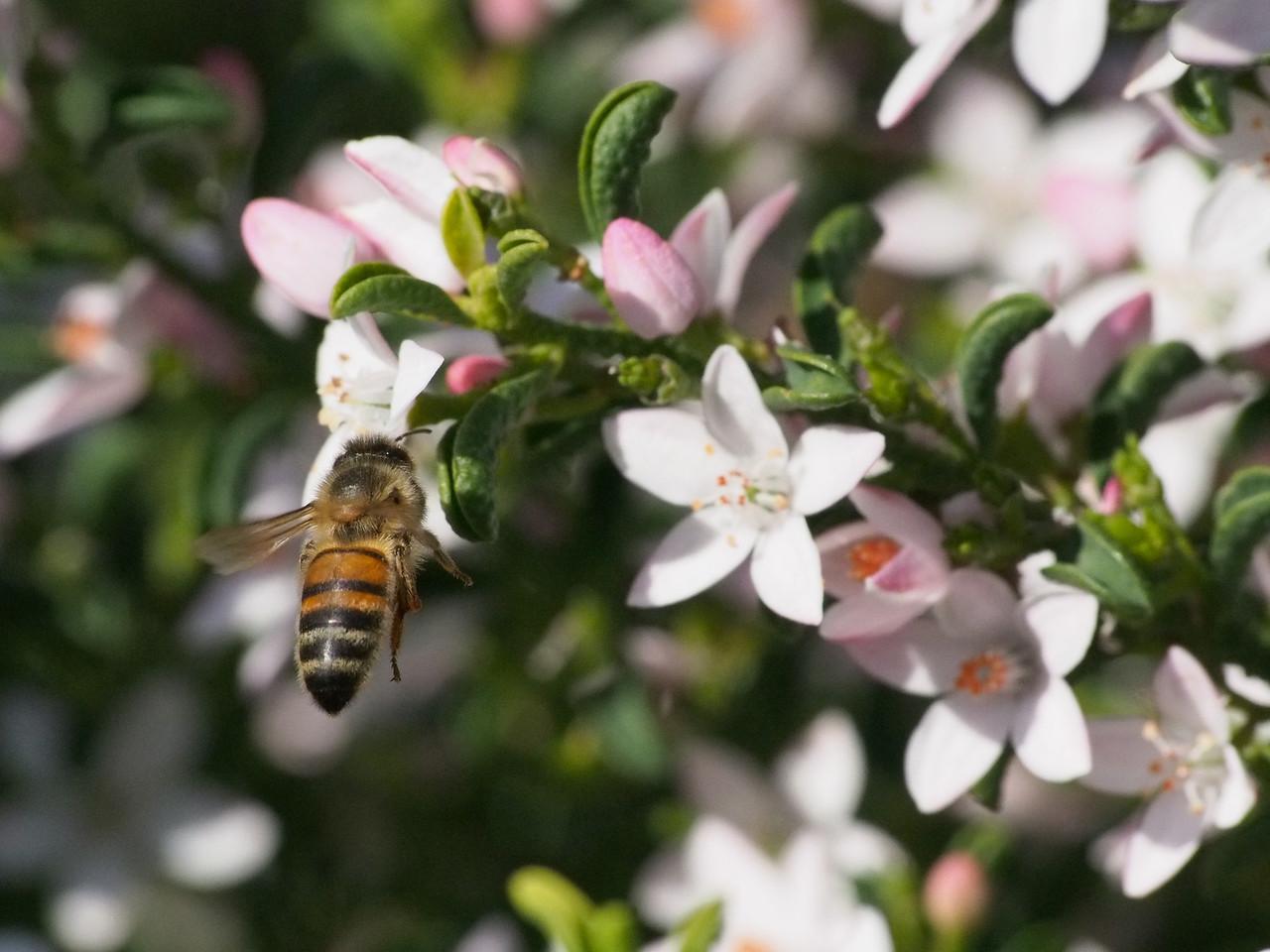 20130908_1439_1936 Kew Baptist bee