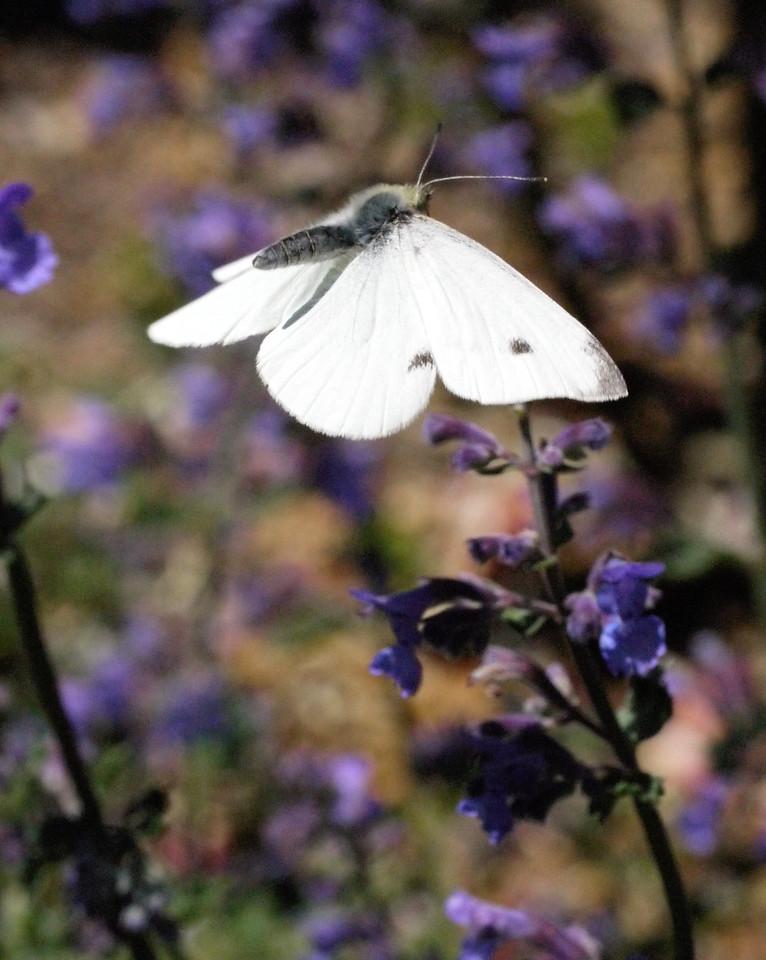 20131105_1054_0095 butterfly (Ivanhoe Park)