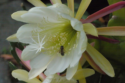 20131129_0710_4916 epiphyllum and bee