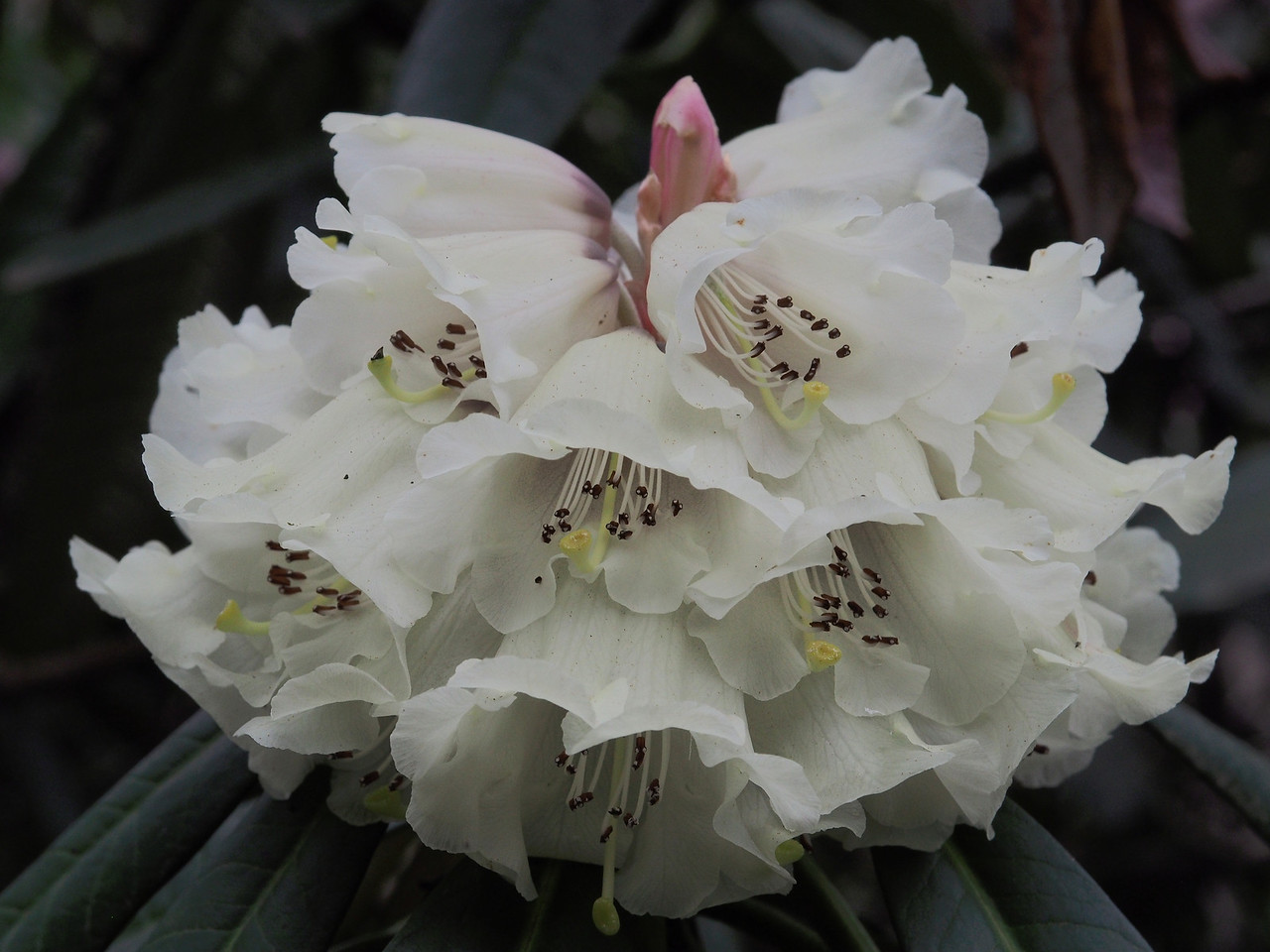 20130914_1528_2761 rhododendron