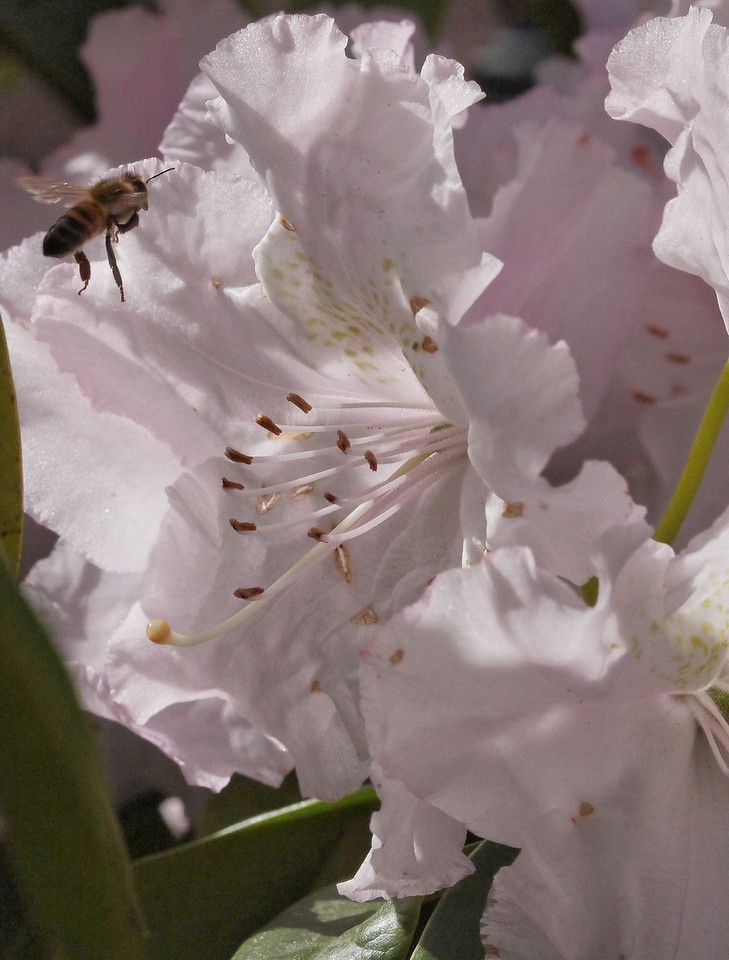 20130907_1000_0187 rhododendron and bee