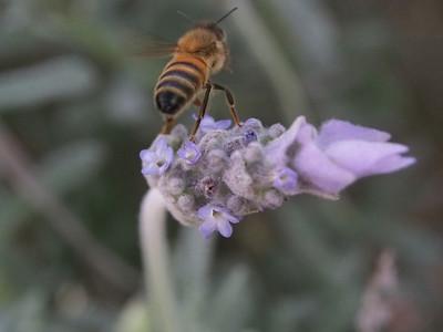 20130901_1304_1999 Kew RSL bee