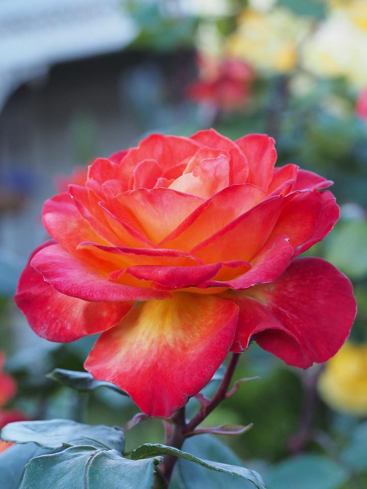 20131018_1719_4765 rose