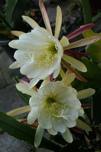 20131129_0714_4926 epiphyllums
