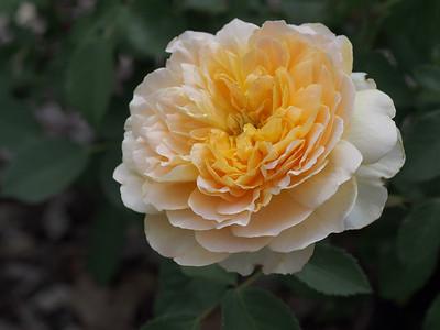 20131130_1122_0590 rose (Heidelberg Park, Heidelberg)