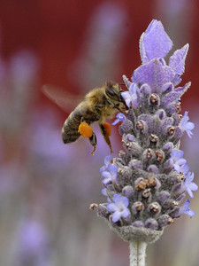 20130924_1210_0441 bee and lavender