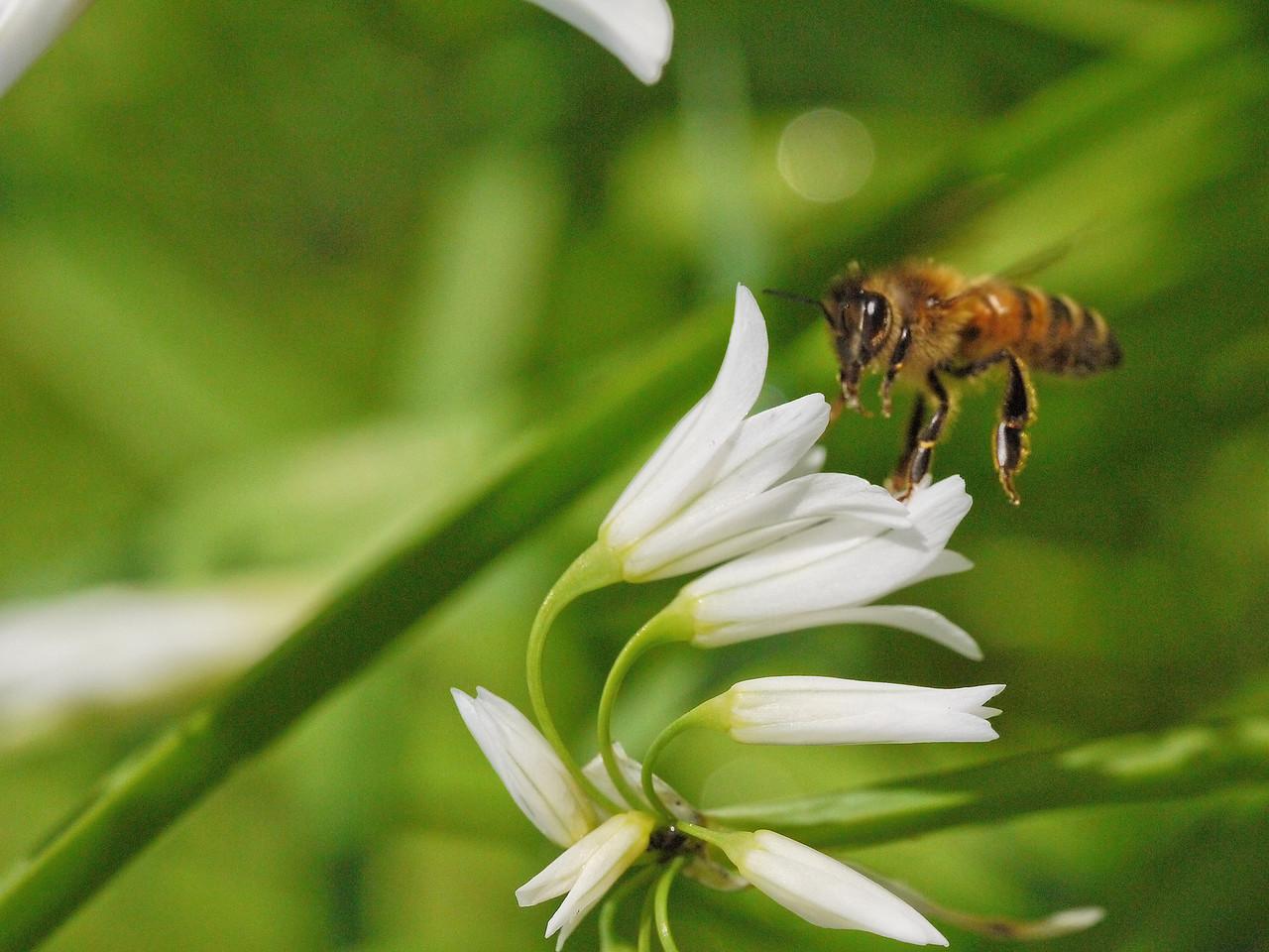 20130921_1045_0237 angled onion bee