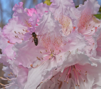20130907_1009_0210 bee and rhododendron