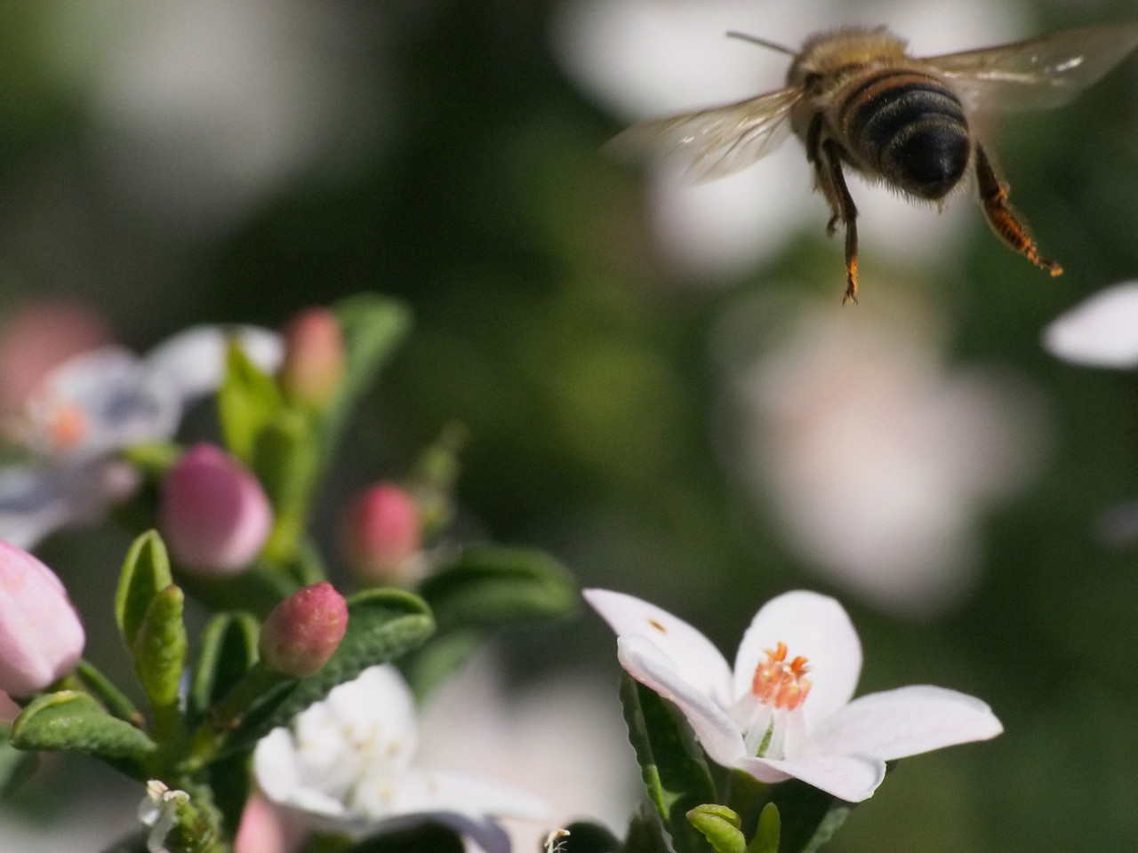 20130908_1507_2455 Kew Baptist bee