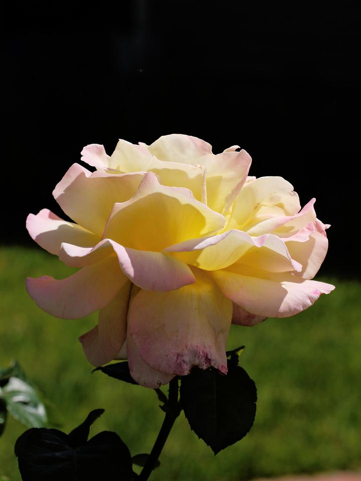 20131105_1031_0001 rose (Kenilworth Parade, Ivanhoe)